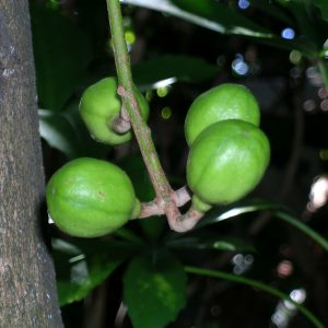 Fruits of Kohekohe (Dysoxylum spectabile). Photo by C.A. Lehnebach (c) Museum of New Zealand Te Papa Tongarewa.