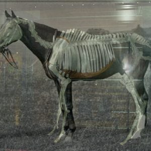 Phar lap and skeleton.