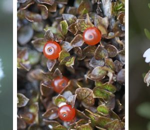 Craspedia flower head, Nertera, and Euphrasia. Photos by Jean-Claude Stahl. © Te Papa.