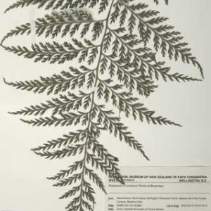 Fern specimen in Te Papa's botany collection. © Te Papa.