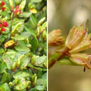 Left: Nothofagus solandri leaves with flower buds. Right: close up of open flowers. (c) Leon Perrie