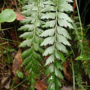 Asplenium carnarvonense is only known from a few gorges in inland southern Queensland. The gorges provide respite for ferns and other moisture-loving plants in what is otherwise an arid landscape. Photo by Leon Perrie. © Te Papa.