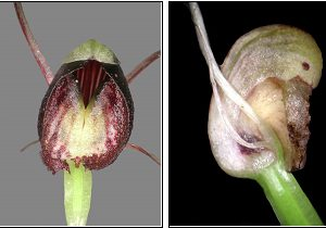 Flowers of the native Spider orchid Nematoceras trilobum.
