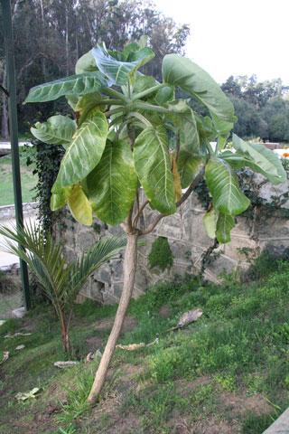 The Juan Fernández cabbage tree, Dendroseris litoralis (Asteraceae). Photo © Heidi M. Meudt.