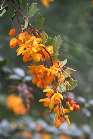 Michay, Berberis darwinii (Berberidaceae). While beautiful in its native Chile, it is an invasive pest in New Zealand. Photo © Heidi M. Meudt.