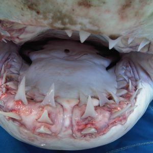 Inside the mouth of a great white shark.  Photo by Jane Keig.