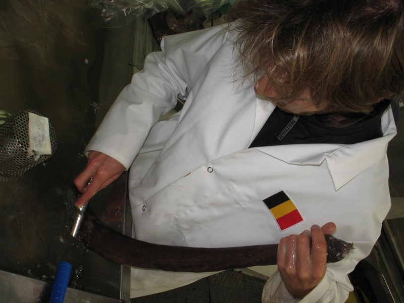Vincent cleaning one hagfish specimen from its slime (and, yes, I am Belgian!). Te Papa.
