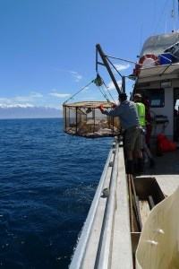 Fish trap being retrieved after deployment at 700m depth. Te Papa, photograph by Vincent Zintzen.