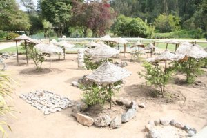 Special toromiro garden at Chile's National Botanic Gardens in Viña del Mar. Photo © Heidi M. Meudt.