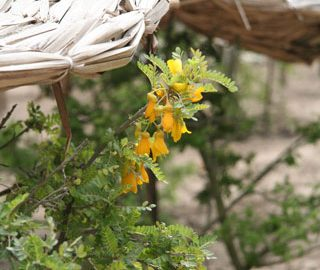 Close-up of the flowers of Sophora toromiro growing at the National Botanic Gardens in Viña del Mar, Chile. Photo © Heidi M. Meudt.