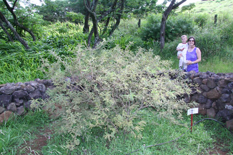 Sophora toromiro in the botanic garden on Rapa Nui (Easter Island), 2007. Note the circular stone wall surrounding the plant. Similar stone-walled garden enclosures, or manavai, were once agriculturally important on Rapa Nui. Photo © Mauricio A. López L.