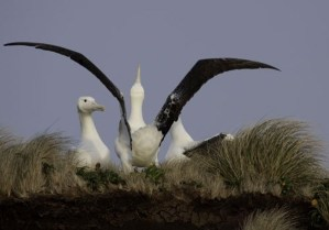 Southern Royal Albatross. Photo reproduced courtesy of Campbell Island Bicentennial Expedition