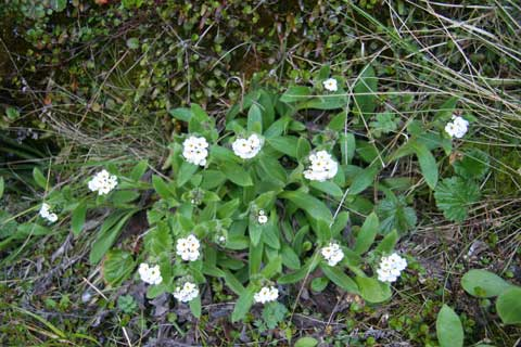 Myosotis explanata, Otira Valley, Dec 2010. Photo by Heidi Meudt.