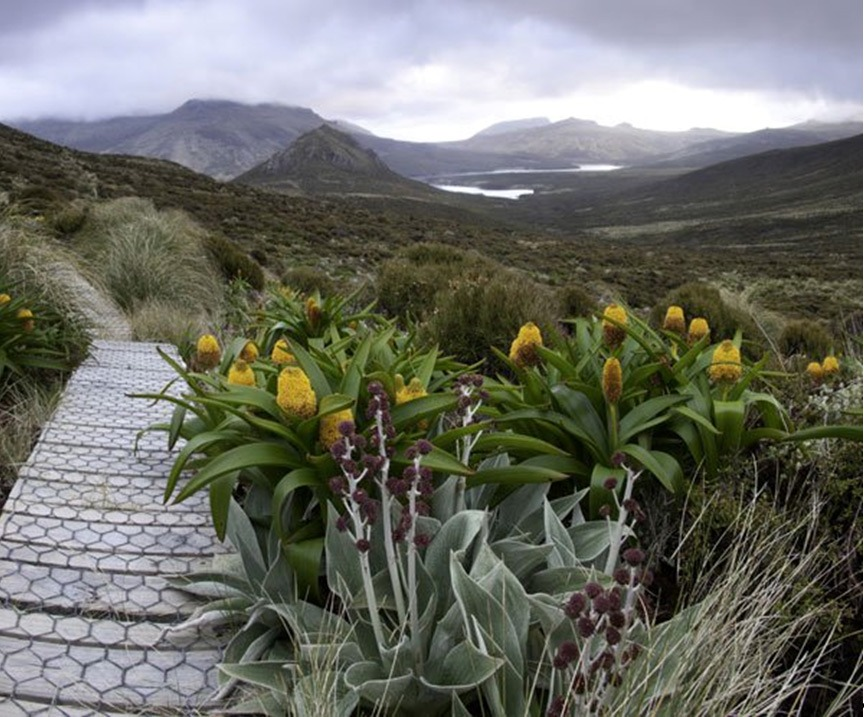 Megaherbs on Campbell Island. Photo reproduced courtesy of Campbell Island Bicentennial Expedition