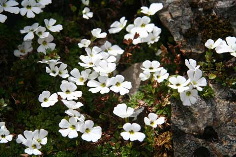 Ourisia caespitosa can form large mats, which carpet the herbfield with its beautiful white flowers that have three lines of hairs inside the corolla throat, Dec 2010. Photo by Heidi Meudt.