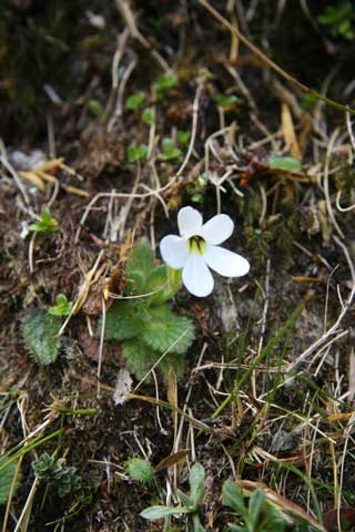Ourisia simpsonii, Otira Valley, Dec 2010. Note its delicate hairy rosette of leaves, and its glabrous (hairless) corolla throat, which are two characteristics that distinguish it from the species shown above. Photo by Heidi Meudt.