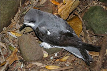 3.Pycroft's petrel, Hen Island, December 2010. Photo: Colin Miskelly.