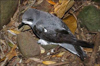 3.Pycroft's petrel, Hen Island, December 2010. Photo: Colin Miskelly.