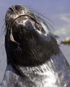 Sea lion. Photos reproduced courtesy of Campbell Island Bicentennial Expedition