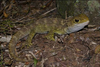 4. Tuatara, Hen Island, December 2010. Photo: Colin Miskelly.
