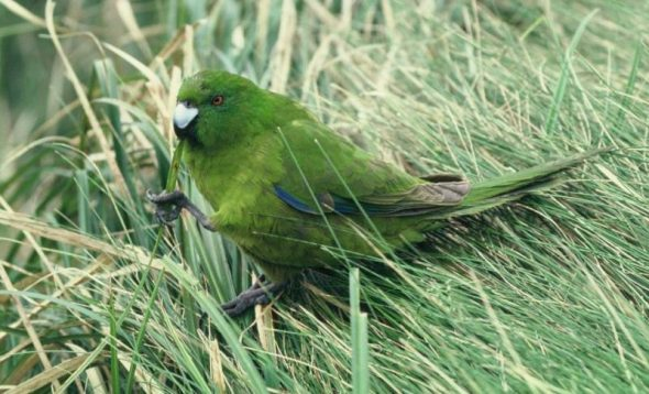 Antipodes Island parakeet, Antipodes Island. Image: Colin Miskelly