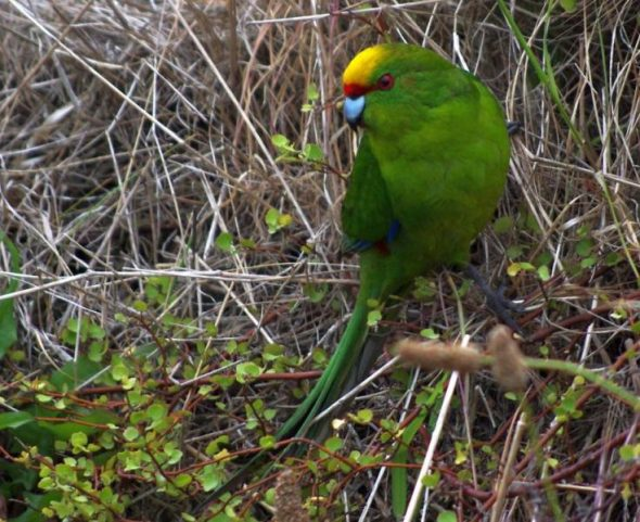 Yellow-crowned parakeet, Mana Island. Image: Colin Miskelly