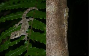 2. The first and second forest geckos recorded from Nukuwaiata, January 2011