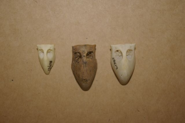 The parakeet beak found on Stephens Island (middle) compared with two reference specimens in the Te Papa collection.