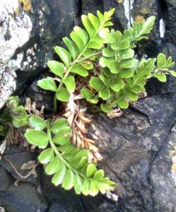 Southern shore spleenwort, Asplenium obtusatum, Titahi Bay. Photo and © Tim Park.