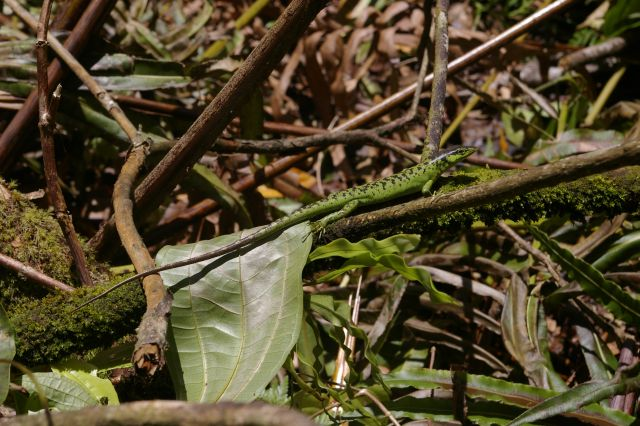 Vanuatu green tree skink Emoia sanfordi – a visitor to our camp