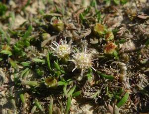 Close up of Leptinella maniototo, with several flowering inflorescences, each c. 2 mm across. Its narrow leaves and leaf-segments, and its shortly-stalked inflorescences are distinctive. Photo and © Leon Perrie.
