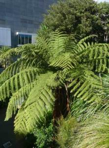 Mamaku, Cyathea medullaris, in Te Papa's Bush City.  Photo Leon Perrie, (c) Te Papa.