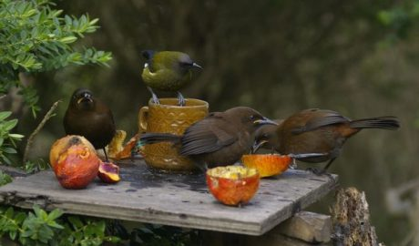 Three jackbirds (juvenile South Island saddlebacks) and a male bellbird at a feed-table beside the Trows' hut, Kundy Island. Photo: Colin Miskelly.