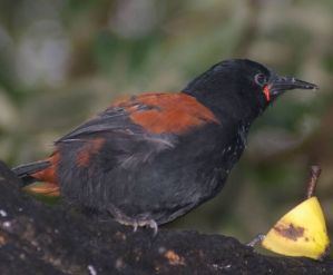 Adult South Island saddleback on Putauhinu Island.