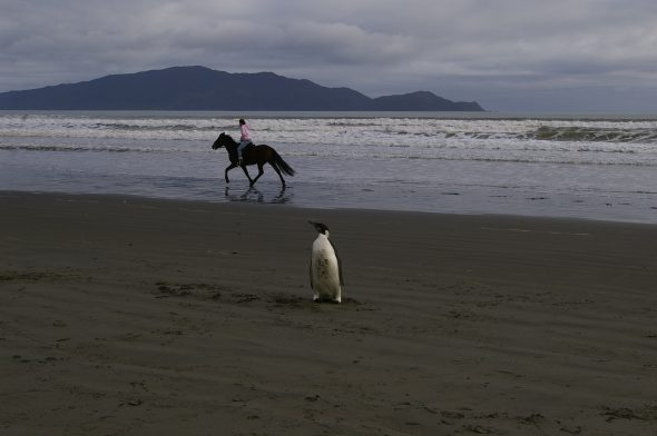 """Weirdest seal I ever saw"". One of many new experiences for the penguin. Photo: Colin Miskelly (Te Papa)"