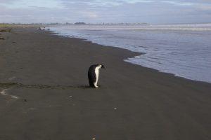 TEPAPA_n447914_v1_Emperor_penguin_Peka_Peka_21_Oct_2011_IGP9807