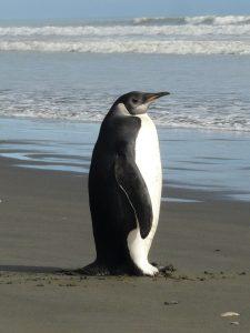 TEPAPA_n447920_v1_Emperor_penguin_Peka_Peka_21_Oct_2011_P1210343