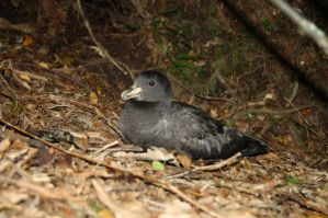 Westland Petrel, endemic to New Zealand on its breeding ground. Photograph by D Filippi