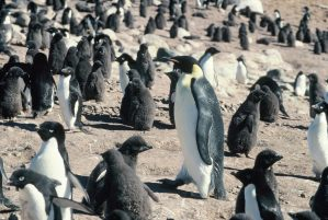 """Any spare stones ma'am?"" An emperor penguin wades through an Adelie penguin colony on Hop Island, Antarctica. Copyright Colin Miskelly"