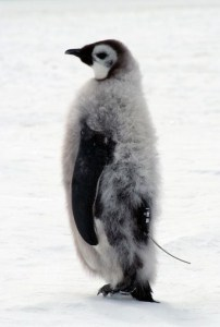 Emperor penguin chick fitted with satellite transmitter. Photo: Barbara Wienecke