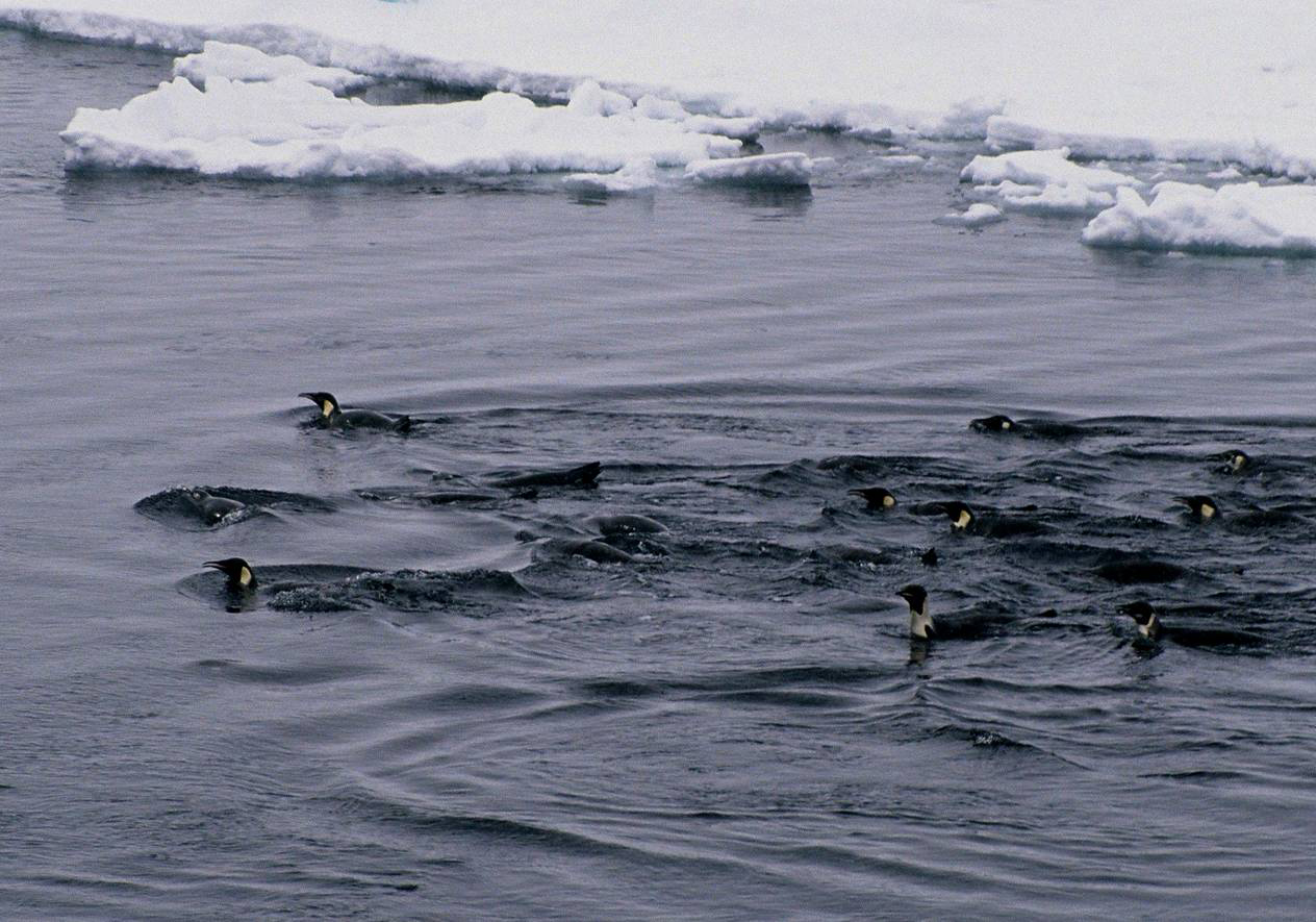 Emperor penguins swimming among pack-ice. Photo: Colin Miskelly