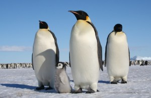 Emperor penguins contemplating whether they could incubate eggs and raise chicks at sea. Photo: Barbara Wienecke