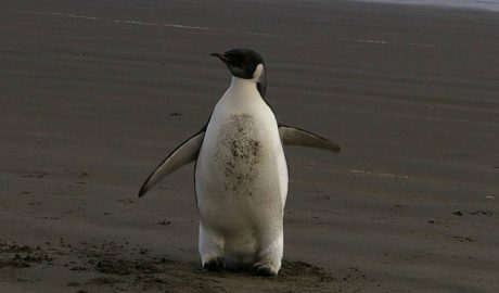 Wayward boy – the emperor penguin on Peka Peka Beach, 21 June. Photo: Colin Miskelly © Te Papa