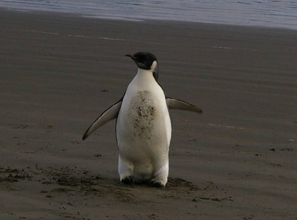 Wayward boy – the emperor penguin on Peka Peka Beach, 21 June. Photo: Colin Miskelly © Te Papa