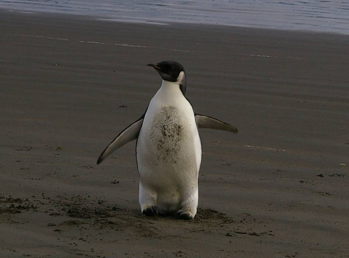 Wayward boy – the emperor penguin on Peka Peka Beach, 21 June. Photo: Colin Miskelly
