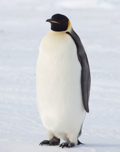 Fig. 2 A healthy adult emperor penguin, Terre Adélie, Antarctica. Photo: Dominique Filippi