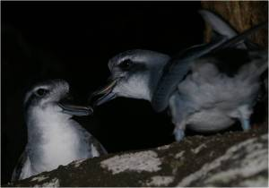 Fig. 7. The calm before the storm – healthy broad-billed prions on Kundy Island, off Stewart Island, March 2011. Photo: Colin Miskelly