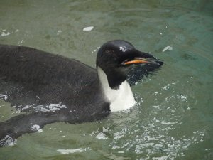 Emperor penguin swimming at Wellington Zoo, 19 August. Photo: Saphira Brilliant Nrew