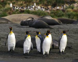 King penguins on South Georgia. Photo: Colin Miskelly