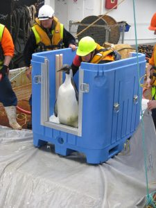 The emperor penguin about to leave his crate and return to the sea. Photo: NIWA